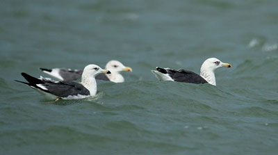 Lesser Black-backed gulls- Sudheera Bandara