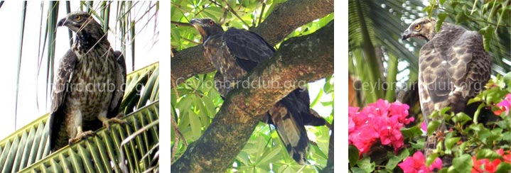 The Crested Honey Buzzard - Tharanga  Herath