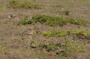 Pathmanath Samaraweera - Typical habitt of the Indian Courser