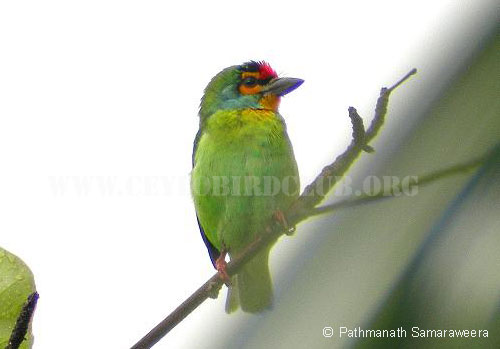 Ceylon Small Barbet
