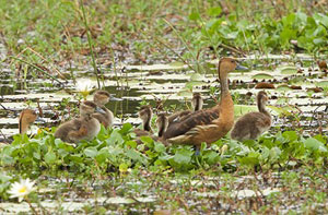 Large Whistling Teal - Photo by Palitha Antony
