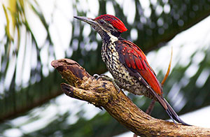 Red-backed Woodpecker